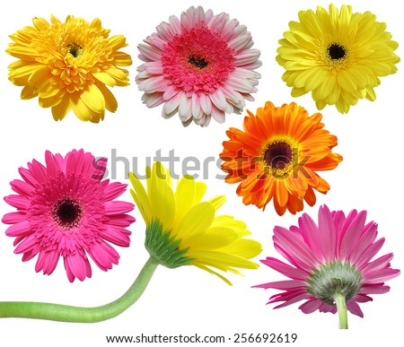 Gerber flower collection- Flower collection isolated on white background - stock photo