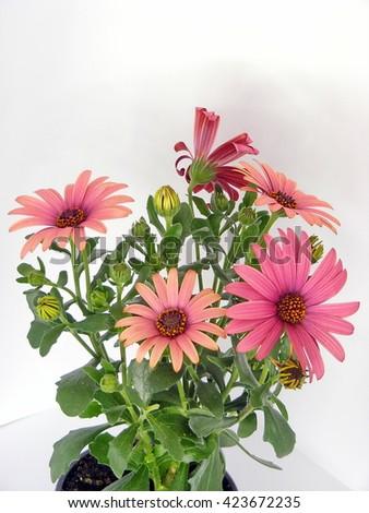 Gerber flower in tile isolated - stock photo