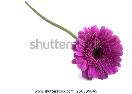 gerber flower isolated on a white background - stock photo