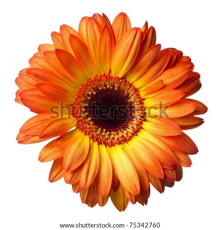 Gerber flower on a white background - stock photo
