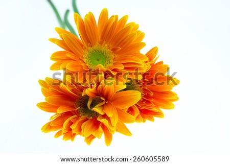 Gerber flower. Orange Gerbera flower close up photo. - stock photo
