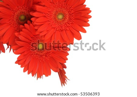 Gerber flowers isolated on white background