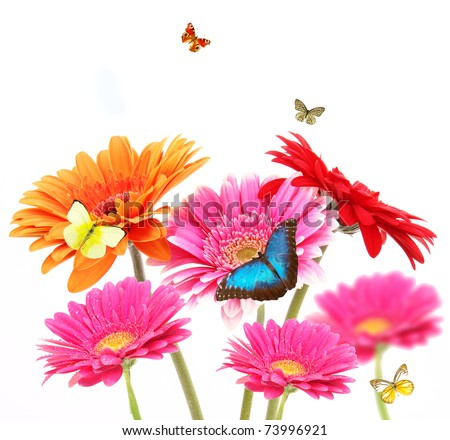 Gerber flowers with butterflies, isolated on white background - stock photo