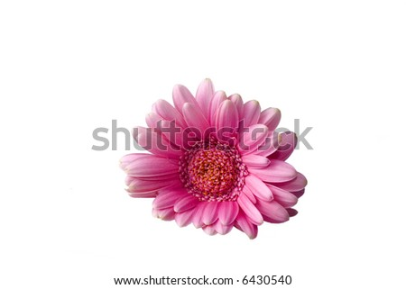 Gerber, gently isolated over white background - stock photo