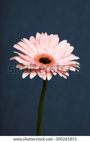 Gerber. Pink flower with dark center. - stock photo