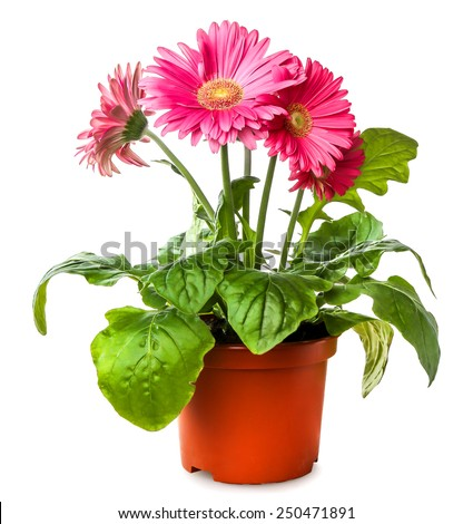 Gerber's flowers in a flowerpot isolated on a white background - stock photo