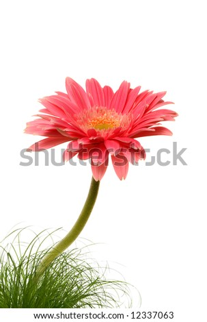 Gerbera - stock photo