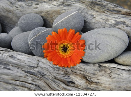 gerbera blossom with stones on rustic wood texture - stock photo