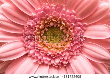 Gerbera Daisy Background Macro Series. Flowers purple - stock photo