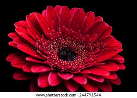 Gerbera daisy beautiful red flower on stock photo royalty free gerbera daisy beautiful red flower on black background macro image beautiful floral wallpaper mightylinksfo