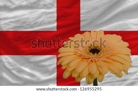 gerbera daisy flower and national flag of england as concept and symbol of love, beauty, innocence, and positive emotions