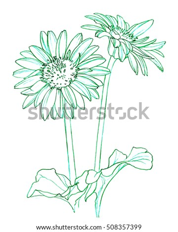 Gerbera Daisy flower - cut flowers - hand pencil drawing