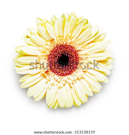 Gerbera daisy flower head isolated on white background. Design element.  Single object with clipping path - stock photo