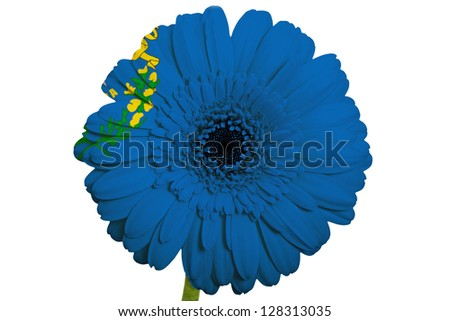 gerbera daisy flower in colors flag of us state of nevada on white background as concept and symbol of love, beauty, innocence, and positive emotions