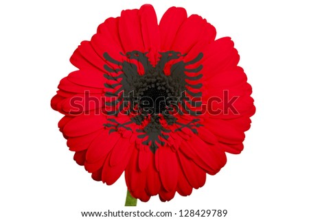 gerbera daisy flower in colors national flag of albania on white background as concept and symbol of love, beauty, innocence, and positive emotions - stock photo