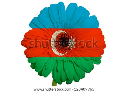gerbera daisy flower in colors national flag of azerbaijan on white background as concept and symbol of love, beauty, innocence, and positive emotions