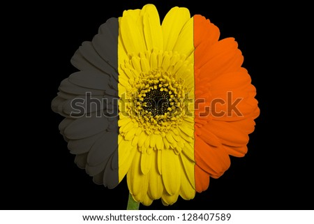 gerbera daisy flower in colors national flag of belgium on black background as concept and symbol of love, beauty, innocence, and positive emotions - stock photo