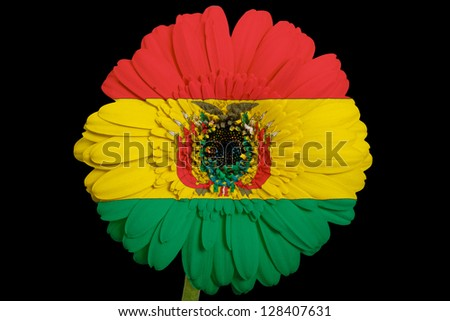 gerbera daisy flower in colors national flag of bolivia on black background as concept and symbol of love, beauty, innocence, and positive emotions - stock photo
