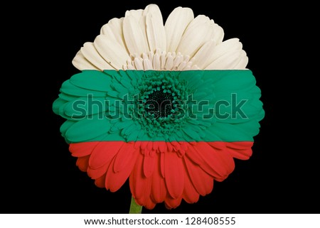 gerbera daisy flower in colors national flag of bulgaria on black background as concept and symbol of love, beauty, innocence, and positive emotions