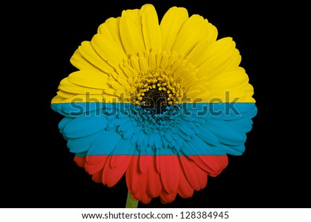 gerbera daisy flower in colors national flag of colombia on black background as concept and symbol of love, beauty, innocence, and positive emotions - stock photo