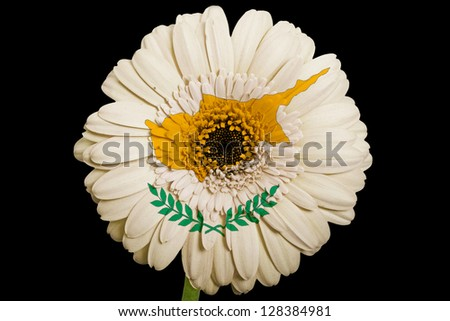 gerbera daisy flower in colors national flag of cyprus on black background as concept and symbol of love, beauty, innocence, and positive emotions - stock photo