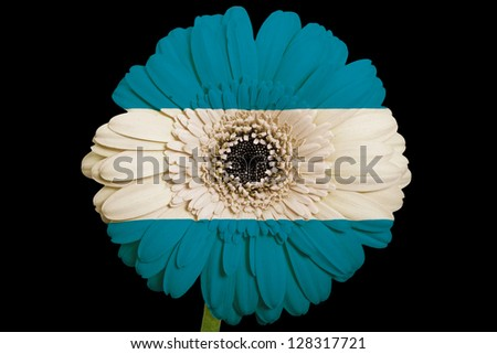 gerbera daisy flower in colors national flag of el salvador on black background as concept and symbol of love, beauty, innocence, and positive emotions
