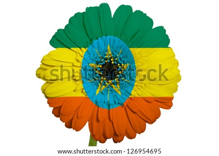 gerbera daisy flower in colors national flag of ethiopia on white background as concept and symbol of love, beauty, innocence, and positive emotions - stock photo