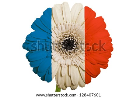 gerbera daisy flower in colors national flag of france on white background as concept and symbol of love, beauty, innocence, and positive emotions