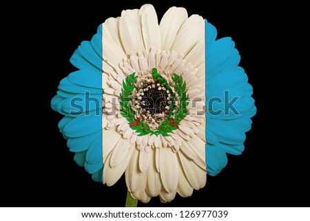 gerbera daisy flower in colors national flag of guatemala on black background as concept and symbol of love, beauty, innocence, and positive emotions - stock photo