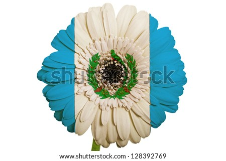 gerbera daisy flower in colors national flag of guatemala on white background as concept and symbol of love, beauty, innocence, and positive emotions - stock photo