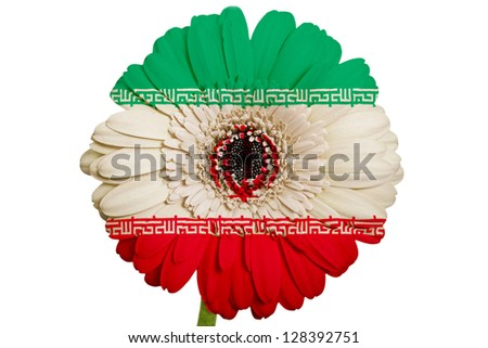 gerbera daisy flower in colors national flag of iran on white background as concept and symbol of love, beauty, innocence, and positive emotions