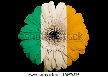 gerbera daisy flower in colors national flag of ireland on black background as concept and symbol of love, beauty, innocence, and positive emotions