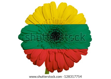 gerbera daisy flower in colors national flag of lithuania on white background as concept and symbol of love, beauty, innocence, and positive emotions