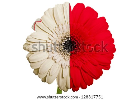 gerbera daisy flower in colors national flag of malta on white background as concept and symbol of love, beauty, innocence, and positive emotions - stock photo