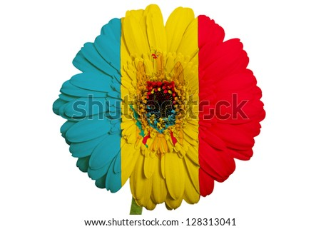 gerbera daisy flower in colors national flag of moldova on white background as concept and symbol of love, beauty, innocence, and positive emotions - stock photo