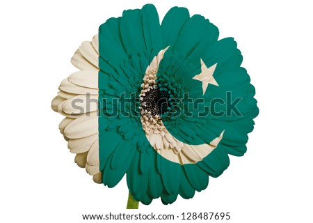 gerbera daisy flower in colors national flag of pakistan on white background as concept and symbol of love, beauty, innocence, and positive emotions - stock photo