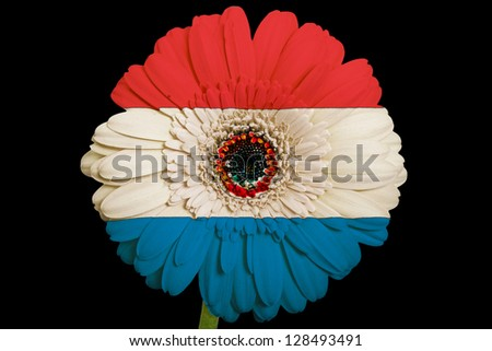 gerbera daisy flower in colors national flag of paraguay on black background as concept and symbol of love, beauty, innocence, and positive emotions - stock photo