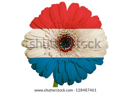 gerbera daisy flower in colors national flag of paraguay on white background as concept and symbol of love, beauty, innocence, and positive emotions - stock photo