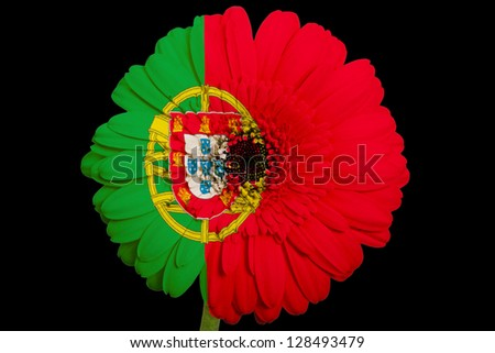gerbera daisy flower in colors national flag of portugal on black background as concept and symbol of love, beauty, innocence, and positive emotions - stock photo