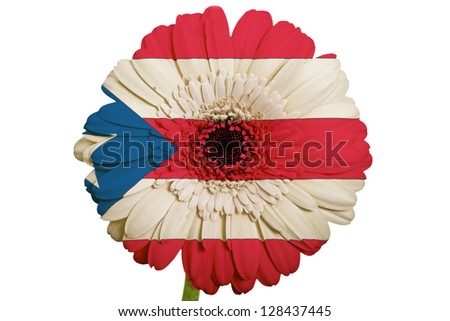 gerbera daisy flower in colors national flag of puertorico on white background as concept and symbol of love, beauty, innocence, and positive emotions - stock photo