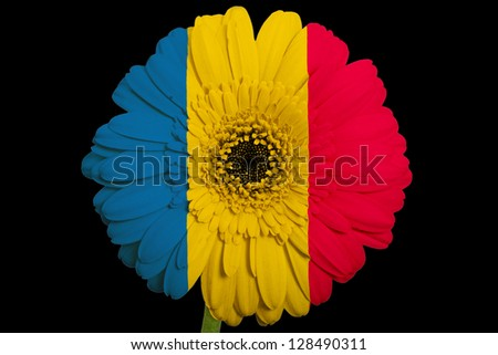 gerbera daisy flower in colors national flag of romania on black background as concept and symbol of love, beauty, innocence, and positive emotions - stock photo