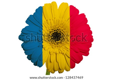 gerbera daisy flower in colors national flag of romania on white background as concept and symbol of love, beauty, innocence, and positive emotions - stock photo