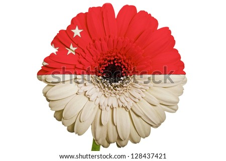gerbera daisy flower in colors national flag of singapore on white background as concept and symbol of love, beauty, innocence, and positive emotions