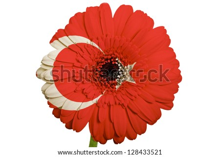gerbera daisy flower in colors national flag of turkey on white background as concept and symbol of love, beauty, innocence, and positive emotions - stock photo