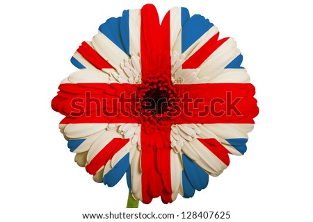 gerbera daisy flower in colors national flag of uk on white background as concept and symbol of love, beauty, innocence, and positive emotions - stock photo