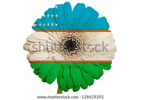 gerbera daisy flower in colors national flag of uzbekistan on white background as concept and symbol of love, beauty, innocence, and positive emotions - stock photo