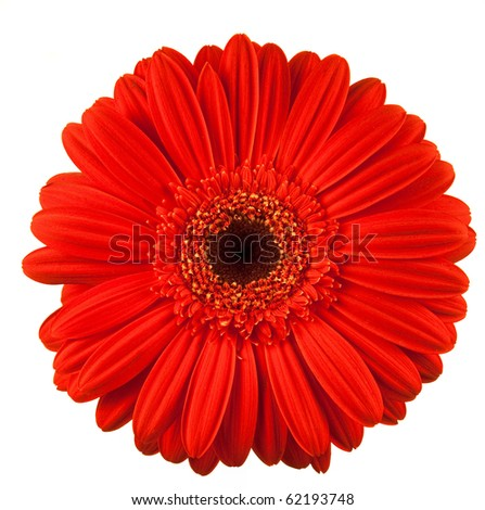 gerbera daisy flower isolated on white background - stock photo