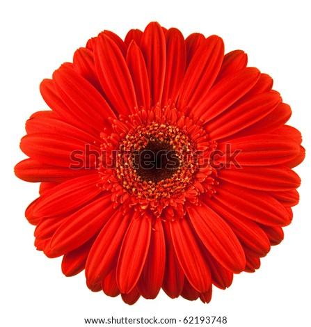gerbera daisy flower isolated on white background - stock photo