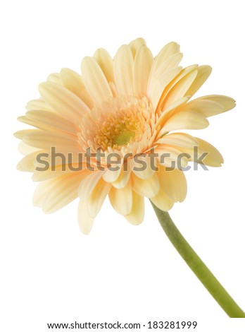 Gerbera daisy flower on white background - stock photo