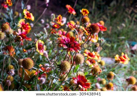 Gerbera daisy flowers blooming backlit image. Bunch of flowers grow in the garden in spring season. - stock photo